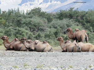 Bactrian camels(Double humped camels)